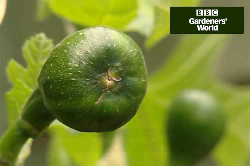 How to plant a fig tree