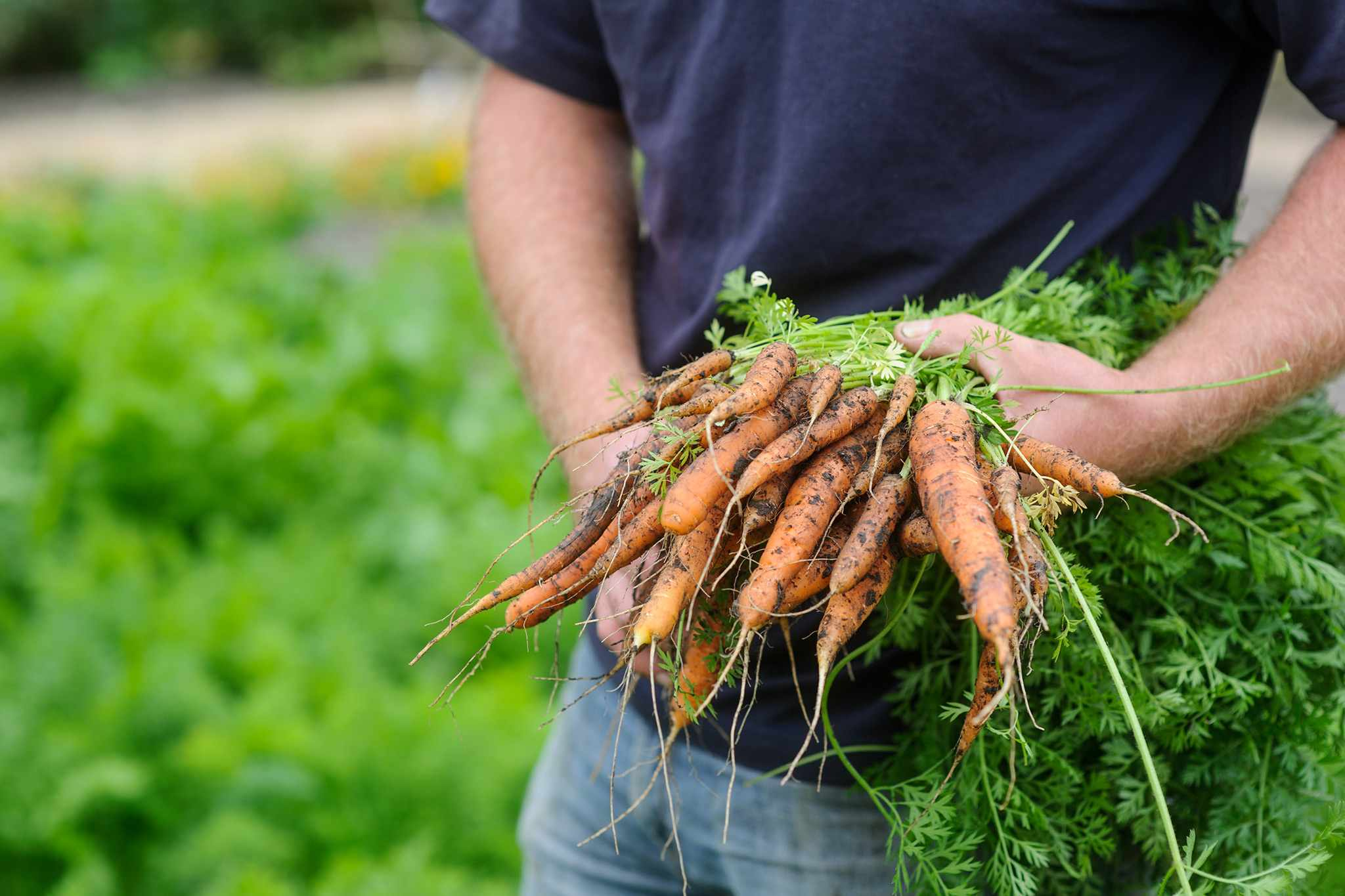 Carrying a bundle of freshly harvested carrots