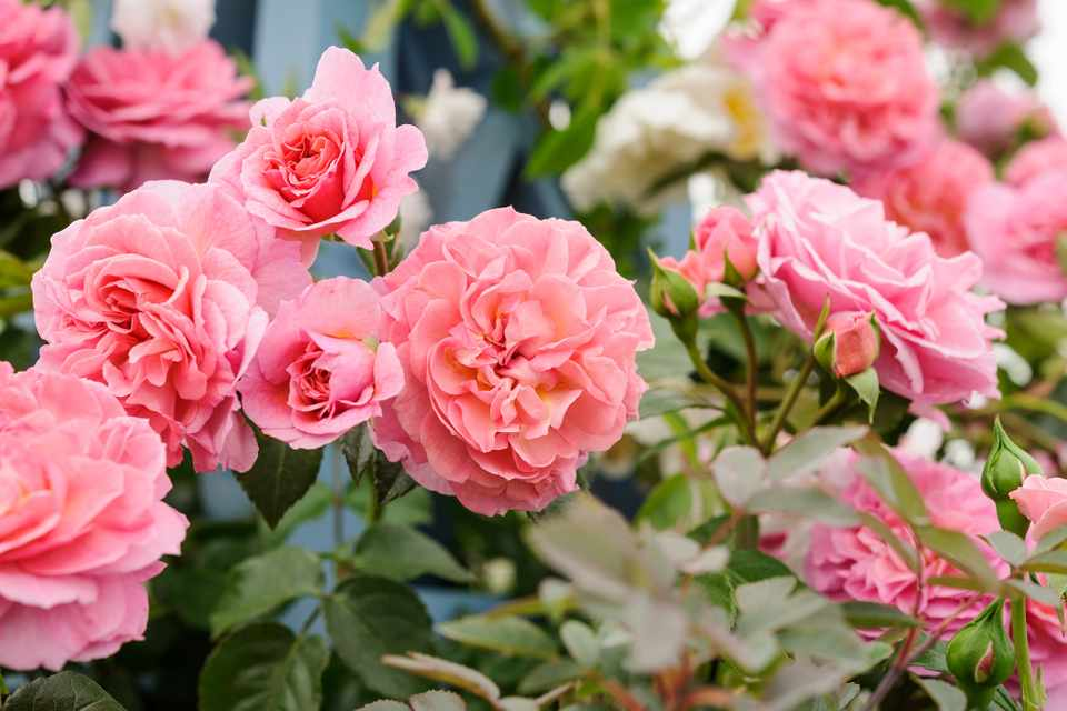 Double, pink blooms of a climbing rose