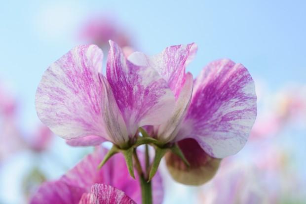 Dark-pink and white striped/flaked Lathyrus odoratus 'Pandemonium'