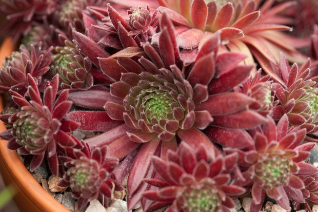 Sempervivum 'Terracotta Baby'