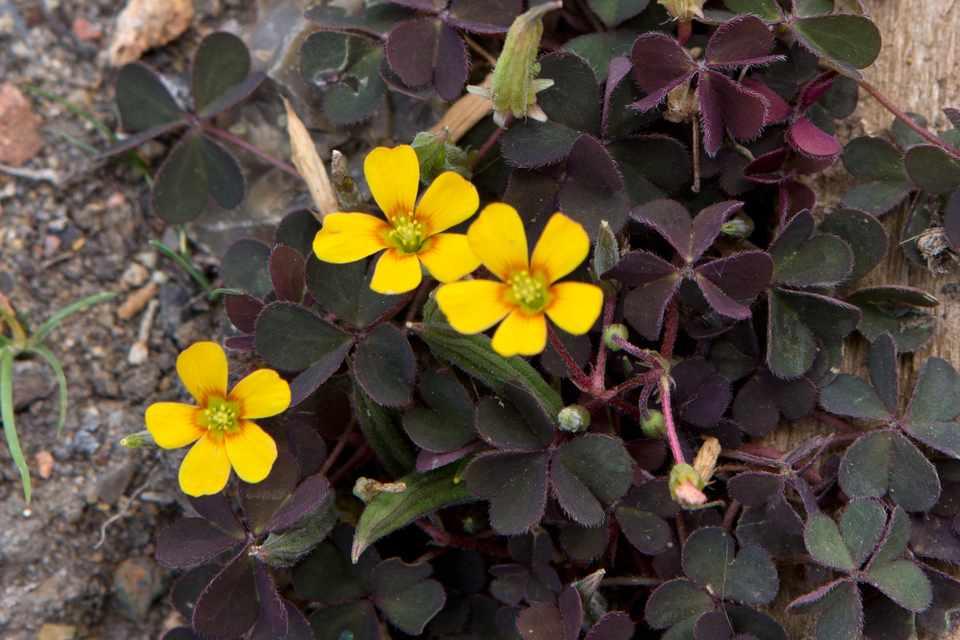Yellow sorrel in flower