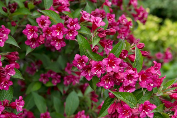 Dark pink weigela in bloom