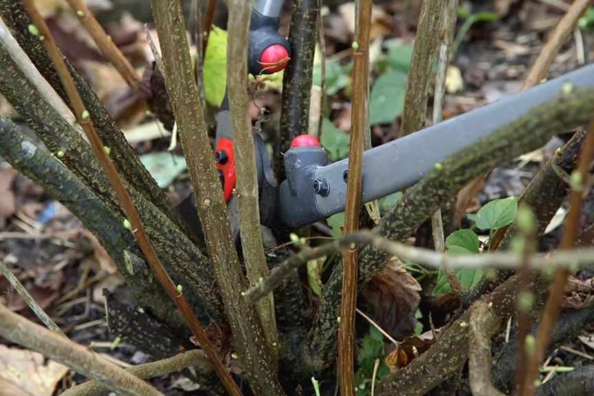 Pruning blackcurrants
