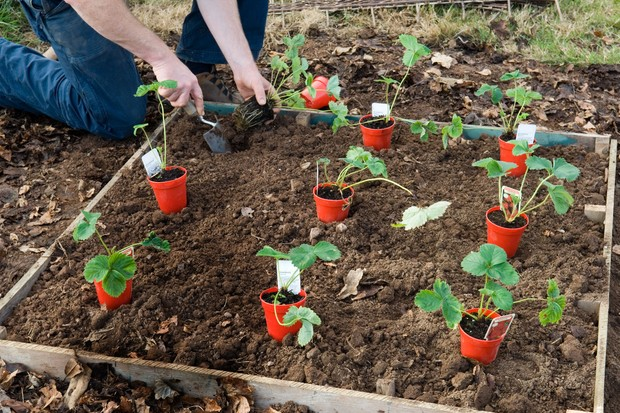 How to make a strawberry bed - positioning the plants