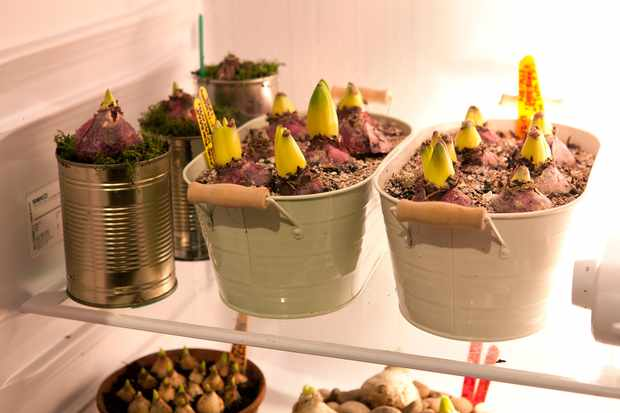 Planted bulbs chilling in a fridge