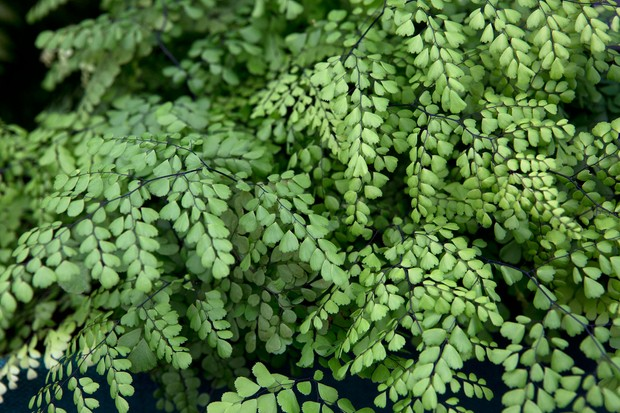Delicate fronds of the Himalayan maidenhair fern