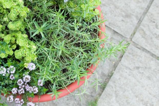 satureja-montana-winter-savory-2