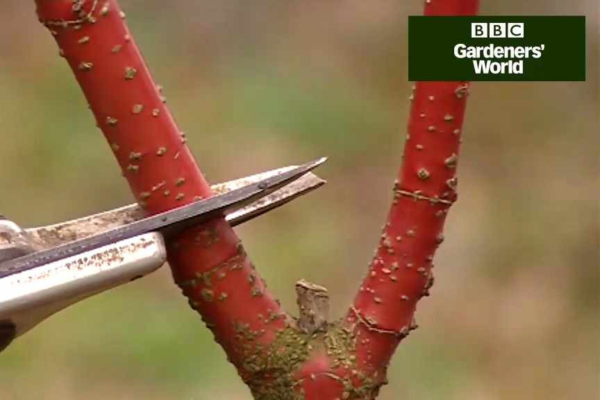How to prune shrubs in spring