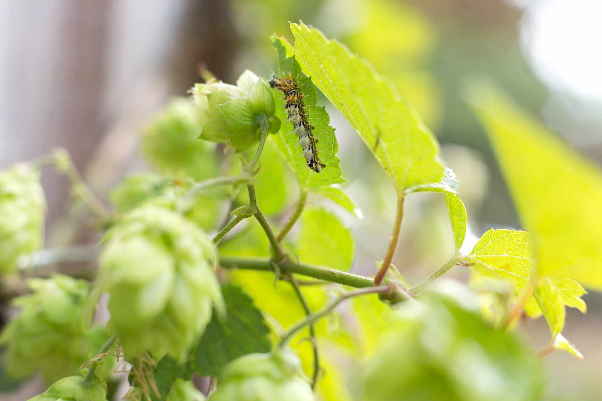Comma butterfly caterpillar on hop (Humulus lupulus) foliage