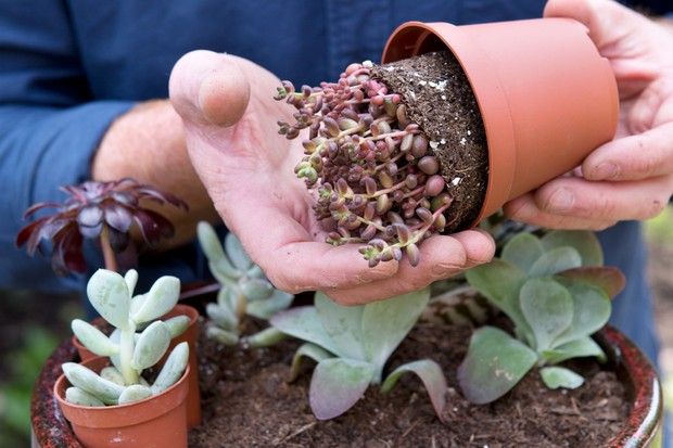 Handling succulent sedum to prevent the leaves bruising or falling off