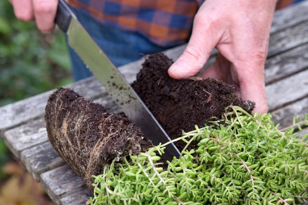 Dividing a clump of sedums with a serrated knife