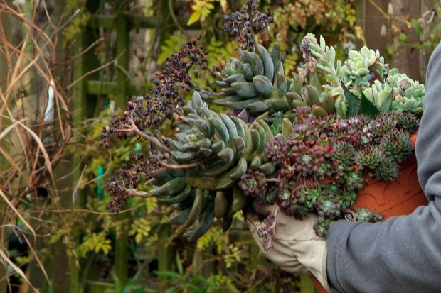 Moving succulent plants to a drier spot over winter