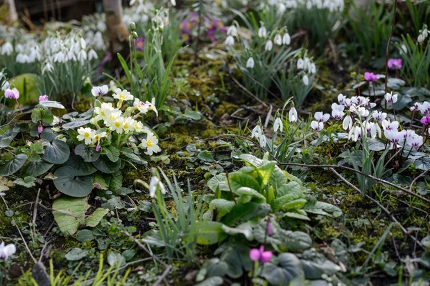 Late winter and early spring planting combination of snowdrops, primulas and cyclamens