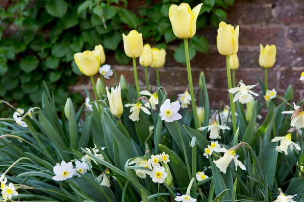 Spring bulb combination of daffodils and tulips