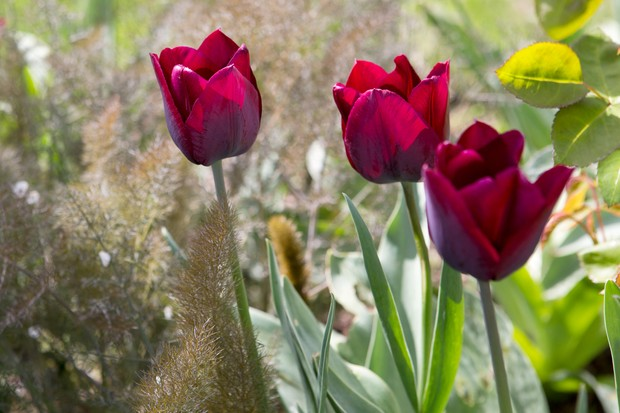 Bronze fennel and red tulips