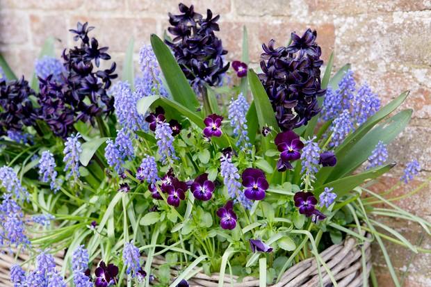 Muscari, hyacinth and viola planting combination