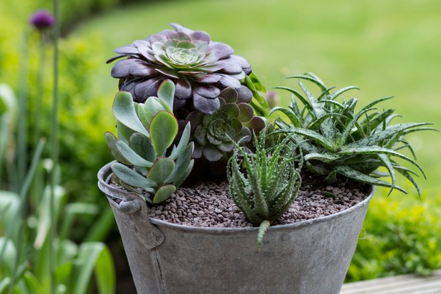 Succulent container display in an upcycled metal pot planted up with succulent aloes and aeoniums