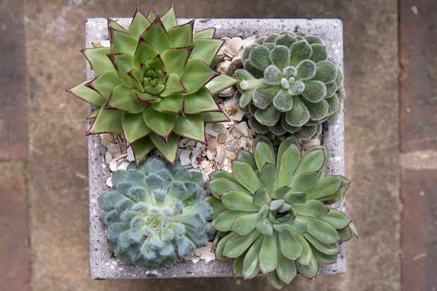 Succulent plants (echeverias) in a concrete container