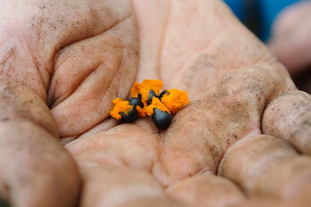 Vivid-orange strelitzia seeds