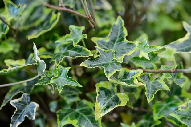 A yellow and green variegated ivy