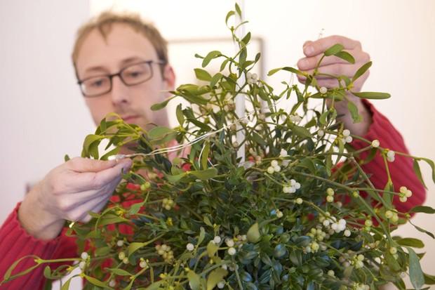 Mistletoe and box Christmas ball - adding mistletoe