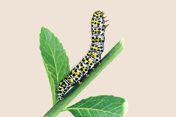 mullein-moth-cucullia-verbasci-2
