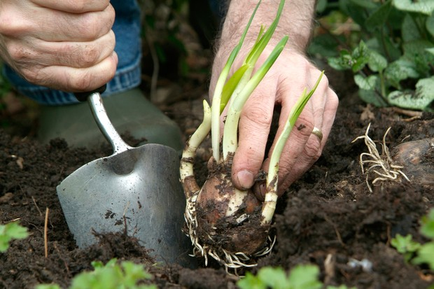 Digging a planting hole with a trowel