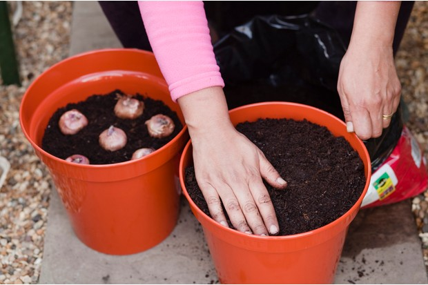 Planting gladioli corms - planting the corms in compost