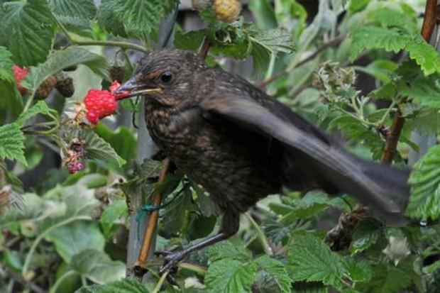 A blackbird eating a raspberry from a raspberry cane
