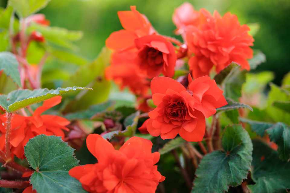 A scarlet red begonia