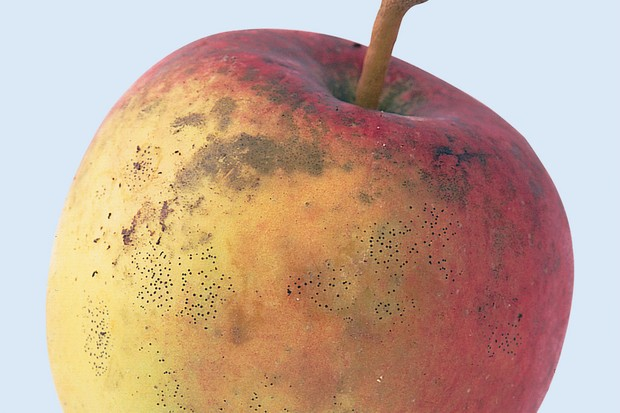 A ripe apple with black sooty fungal marks