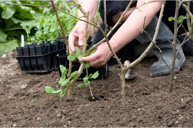 How to plant pea seeds - planting peas