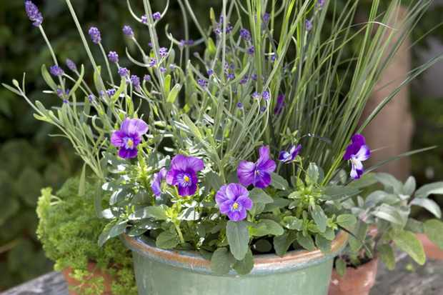 Lavender and pansy pot display