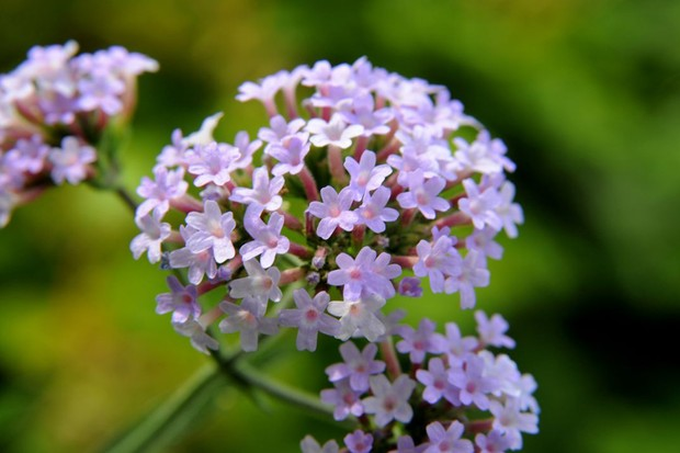 A close-up of a light-purple verbena flowerhead