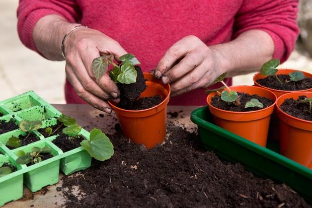 Planting begonia seedlings - planting the seedlings into 7cm pots