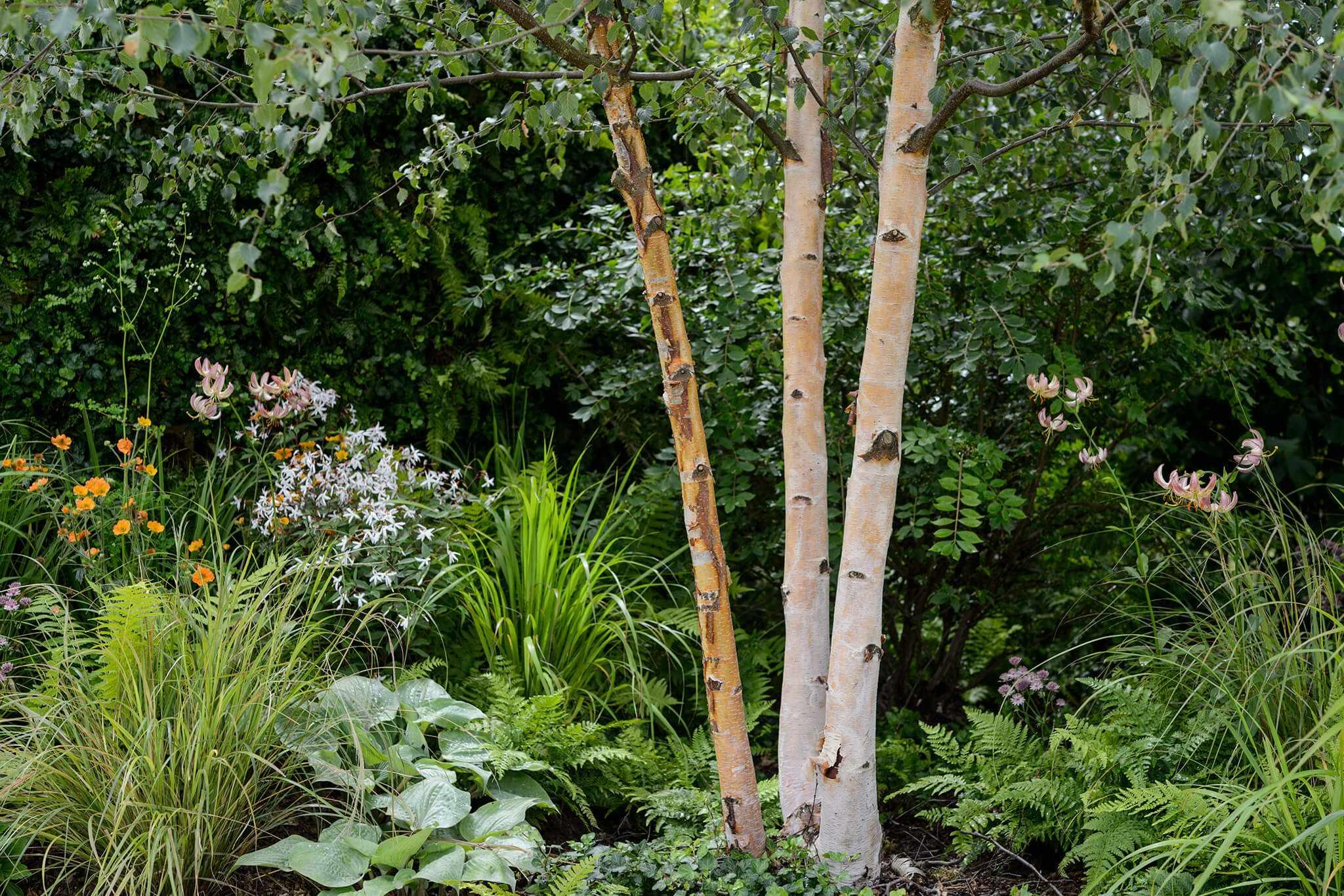 Birch tree (Betula albosinensis) in shady border