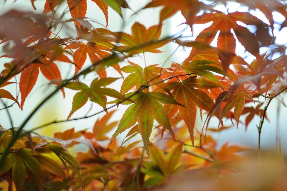 10 Acers To Grow Bbc Gardeners World Magazine