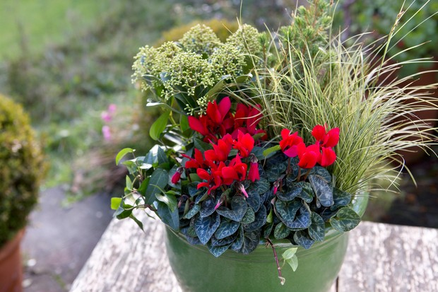 cyclamen-carex-and-skimmia-2