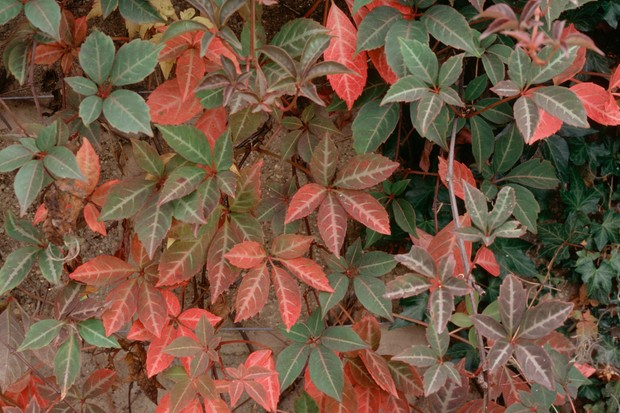 parthenocissus-henryana-8