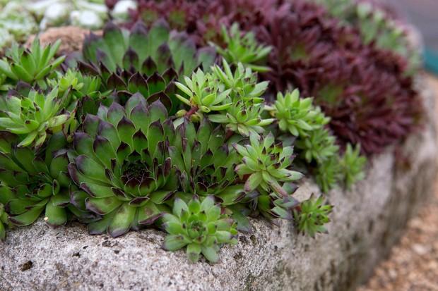 Purple-tipped, bright-green <em>Sempervivum</em> 'Reinhard' in a stone trough
