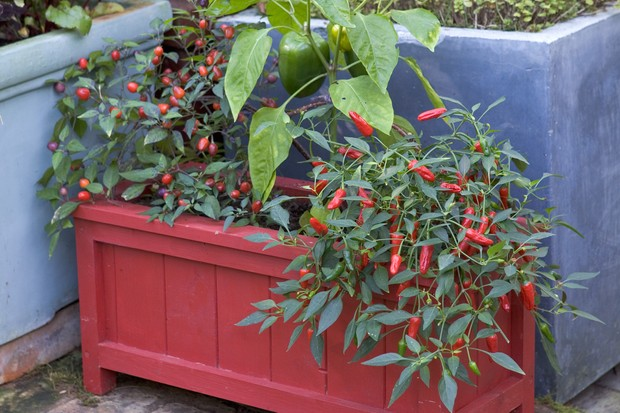chillies-growing-in-a-window-box-3