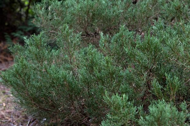 Low juniper foliage