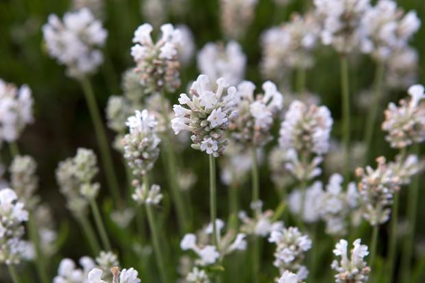 lavender-arctic-snow-3