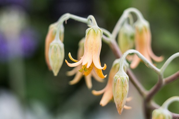 Bell-shaped, orange flowers of Cotyledon orbiculata