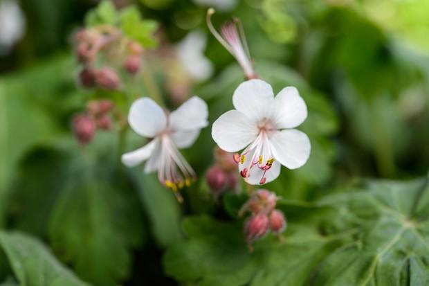 geranium-spessart-2