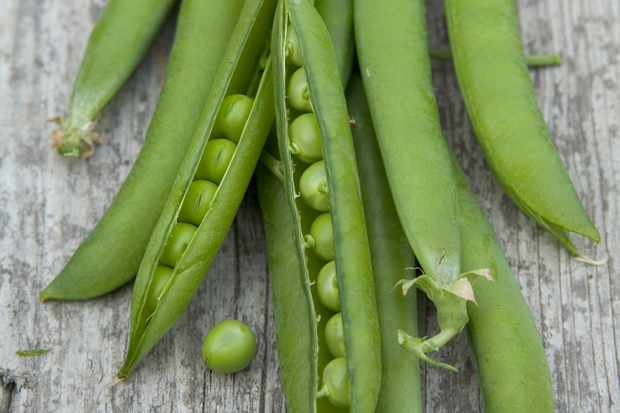 pea-greensage-3