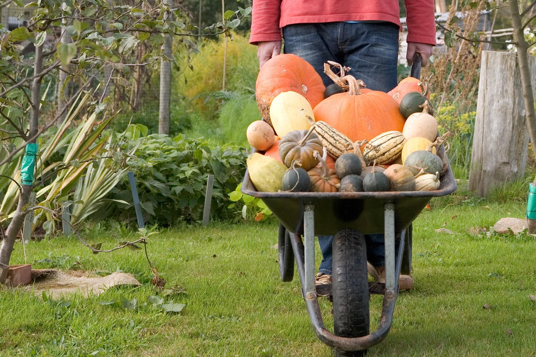 Pumpkins in wheelbarrow