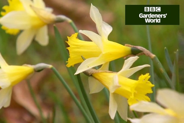 How to plant wild daffodils bulbs video