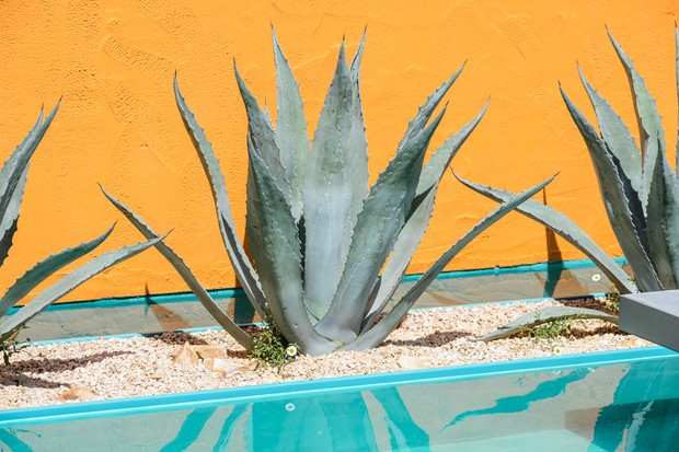 Best succulents to grow - Agave americana